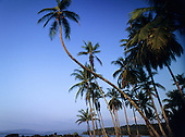 Marenco, Osa Peninsula, Costa Rica. Windswept palm trees leaning over the bay.