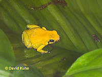 1103-07oo  Phyllobates terribilis - Golden Poison Arrow Frog - Golden Dart Frog - © David Kuhn/Dwight Kuhn Photography
