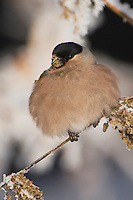 Eurasian Bullfinch, Pyrrhula pyrrhula, female eating seeds of Stinging Nettle(Urtica dioica) with frost by minus 15 Celsius, Lenzerheide, Switzerland, Dezember 2005
