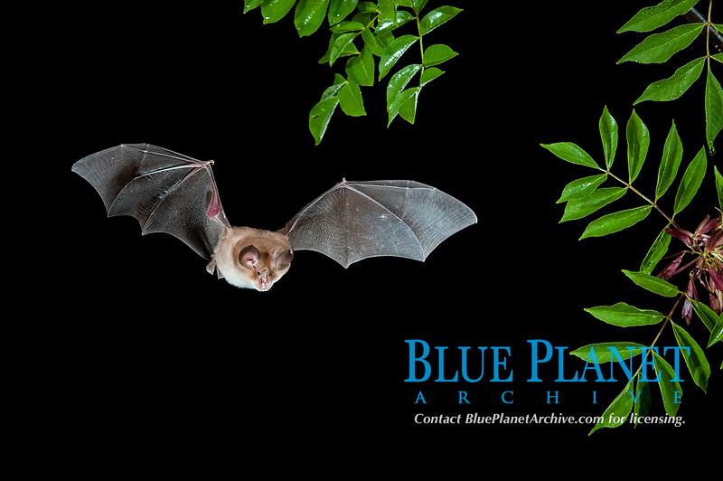 Mediterranean Horseshoe Bat (Rhinolophus Euryale) in flight, North Bulgaria, Bulgaria, Europe