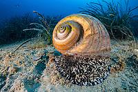 giant tun, Tonna galea, Vis Island, Croatia, Adriatic Sea, Mediterranean Sea, Atlantic Ocean