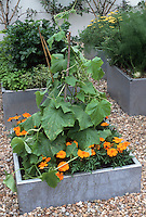 Vegetables Squash, marigolds, fennel, herbs, flowers, in galvanized metal steel raised beds or containers, with trellis supports for vertical growing