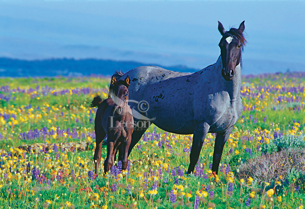 Wild Horse mare with colt in wildflowers.  Pryor Mountains, Montana/Wyoming.
