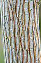 Trunk and bark of snake-bark maple (Acer grosseri var. hersii).