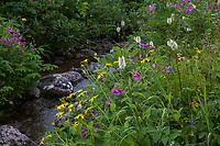 Arnica and  Burnet flowering by creek in Heath tundra near Hatcher Pass, Alaska,  Independence Mine State Historical Park