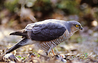 Sperber, Accipiter nisus, northern sparrowhawk, sparrow hawk