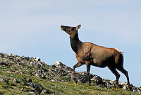 Elk cow against blue sky. Colorado USA Trail Ridge, Rocky Mountain National Park.