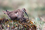 Between feeding bouts during which the chick must catch insects itself, a whimbrel broods its chick.