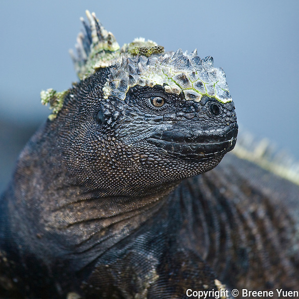 Galapagos Islands Marine Iguana closeup, April 2007