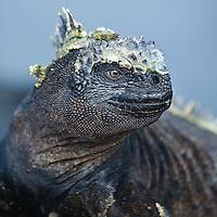 Galapagos Islands Marine Iguana closeup, April 2007