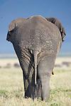 Bull Elephant (Loxodonta africana) - rear / back view. Ngorongoro Crater, Ngorongoro Conservation Area, Tanzania. April 2015
