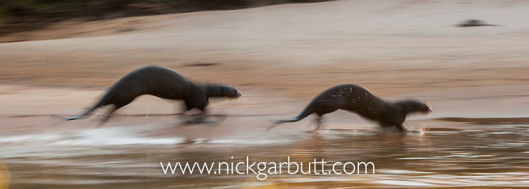 Giant Otters (Pteronura brasiliensis) running along the shore of the Paraguay River, Taiama Reserve, western Pantanal, Brazil.