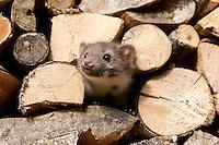 Steinmarder, Stein-Marder, Marder, junges Männchen in einem Holzstapel, Kaminholz, Martes foina, beech marten, stone marten