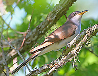Yellow-billed cuckoo adult in tree