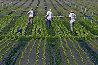 Plantações de horticultura em Moji das Cruzes. São Paulo. 2006. Foto de Juca Martins.