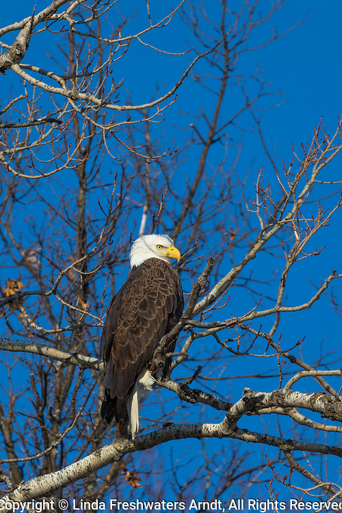 Bald eagle in the Crex Meadows wildlife area in northwestern Wisconsin.