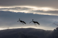Sandhill Cranes flying through the clouds