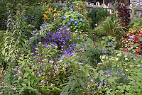 Beautiful perennial and annual flowers and foliage plants in September garden, early fall, with Aster Sapphire, Ipomoea Heavenly Blue morning glory vine Ipomoea purpurea, Rudbeckia, coleus Solenostemon, Caryopteris, Tricyrtis toadlily, hosta, ornamental grasses, picket fence, raised beds, for a ton of late color