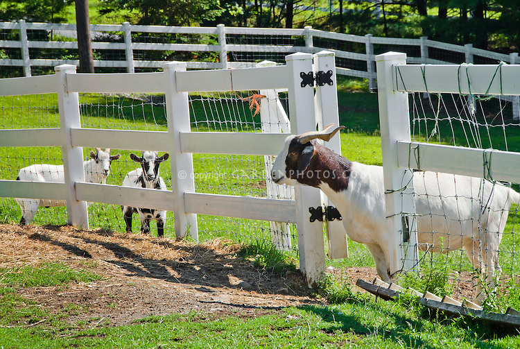 Boer Goat farm animals in paddock eating hay, aka Africander, Afrikaner, South African common goat breed, with Myotonic goat