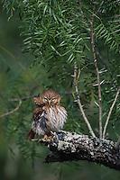 Ferruginous Pygmy-Owl, Glaucidium brasilianum, adult preening, Willacy County, Rio Grande Valley, Texas, USA, May 2007