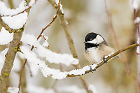 Black-capped Chickadee (Poecile atricapillus) sitting on snow covered branch.  Pacific Northwest.  February.
