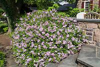 Syringa meyeri Palibin Meyer Lilac next to house stone wall, steps, patio, foundation plant shrub