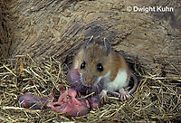 MU27-197z   White-Footed Mouse - with 3 day young - Peromyscus leucopus