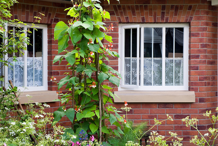 Scarlet runner beans Phaseolus Painted Lady in front of brick house windows