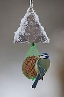 Blaumeise, an der Vogelfütterung, Fütterung im Winter bei Schnee, am Nuss-Säckchen, Nusssäckchen, Nuß-Säckchen, Nussäckchen, Erdnüsse, Winterfütterung, Blau-Meise, Meise, Cyanistes caeruleus, Parus caeruleus, blue tit