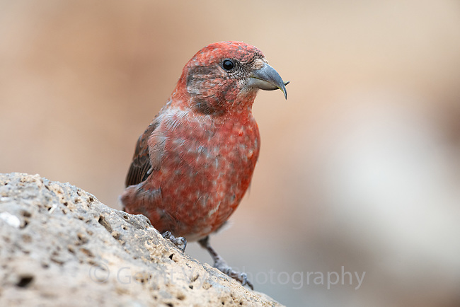 Male Red Crossbill (Loxia curvirostra), Deschutes National Forest, Oregon. September