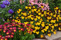 Pansies (Viola) johnny jump up flowers at edge of garden bed with English Daisy (Bellis)