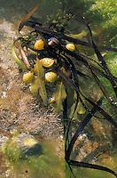 Europe/France/Bretagne/22/Côtes d'Armor/Cap Fréhel: Détail coquillages et algues dans les rochers