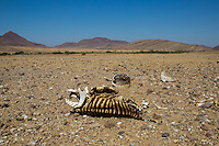 The remains of a Hartmann's Mountain Zebra in the drought of remote Kaokoland, Namibia