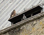Pictured:  One of the juvenile falcons watches a pigeon perched on Winchester Cathedral - following the aerial battle with it's sibling.<br /> <br /> A pair of young peregrine falcons come to blows in an aerial battle just months after they hatched at an ancient cathedral.  The newly fledged chicks, with their sharp talons outstretched, play fight in mid-air as they practice their hunting skills.<br /> <br /> The juveniles were born earlier this summer along with three other chicks, which is thought to be a record for the species.  Amateur photographer Jack Branscombe pictured the tussling pair at Winchester Cathedral, Hants, where peregrine falcons have been nesting for the last two years.  SEE OUR COPY FOR DETAILS.<br /> <br /> Please byline: Jack Branscombe/Solent News<br /> <br /> © Jack Branscombe/Solent News & Photo Agency<br /> UK +44 (0) 2380 458800