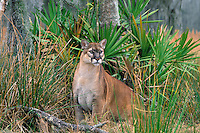 MR294  Florida Panther among palmetto plants.  Florida.