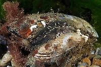 Kletter Seegurke, Kletterholothurie, Kletter-Holothurie, Ocnus planci, Cucumaria planci, Ocnus brunneus, sea-cucumber, Seegurken, Sea Cucumber, Sea Cucumbers, Holothuroidea, concombre de mer