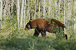 Black Bear (Brown Phase)
