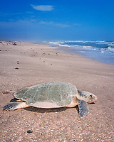Kemp's ridley sea turtle, Lepidochelys kempii, returns to ocean after nesting on beach, Rancho Nuevo, Mexico, Gulf of Mexico, Caribbean Sea, Atlantic Ocean