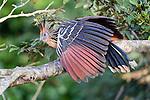 Hoatzin (Opisthocomus hoazin) (also called Stinkbird or Canje pheasant) in river-side vegetation. Hato La Aurora Reserve, Los Llanos, Colombia.