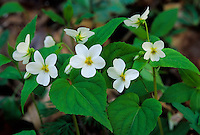 Canada Violet (Viola canadensis), Zaleski State Forest, Vinton County, Ohio, USA