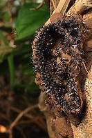 Lestrimelitta mourei - The stingless scaptotrigona mexicana (Lestrimelitta) bees steal honey and also nests. They introduce themselves into the habitat of other bees, launch their pheromones to scramble the alarm signals and steal the honey. Then, they chase out the other stingless bees to colonize their habitat and steal their pollen reserve.///Lestrimelitta mourei - Les abeilles sans dard scaptotrigona mexicana ( Lestrimelitta )sont des voleuses de miel mais aussi de nids. Elles s'introduisent dans l'habitat des autres abeilles, lancent des phéromones pour bouiller les signaux d'alerte et vole le miel. Puis, elles chassent les autres abeilles sans dard pour coloniser leur habitat et voler leur réserve de pollen.