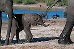 African elephant calf following its mother beside the Chobe River, Chobe National Park, Botswana. (This species is found in many African countries including South Africa, Botswana, Zambia, Zimbabwe, Namibia, Tanzania, Kenya, Rwanda, Uganda, Angola, Democratic Republic of Congo)
