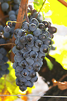 Bunches of ripe grapes. Cabernet Franc. Chateau la Grace Dieu les Menuts, Saint Emilion, Bordeaux, France