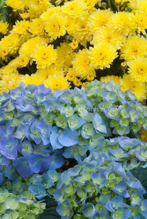 Hydrangea 'Bela' blue and white green bicolor + yellow Chrysanthemum