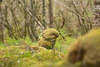 Carnach Woodland Wanderweg (Carnach Woodland Trail) nahe der Ortschaften Milltown und Applecross.<br /> Der Wanderweg fuehrt durch ein Gebiet der vor ca. 4.000 Jahren als mystischer Ort galt und von zahlreichen unterirdischen Energielinien durchzogen ist.<br /> Im Bild: Moos ueberwachsene Steine und Felsen.<br /> 23.5.2015, Highlands/Schottland<br /> Copyright: Christian-Ditsch.de<br /> [Inhaltsveraendernde Manipulation des Fotos nur nach ausdruecklicher Genehmigung des Fotografen. Vereinbarungen ueber Abtretung von Persoenlichkeitsrechten/Model Release der abgebildeten Person/Personen liegen nicht vor. NO MODEL RELEASE! Nur fuer Redaktionelle Zwecke. Don't publish without copyright Christian-Ditsch.de, Veroeffentlichung nur mit Fotografennennung, sowie gegen Honorar, MwSt. und Beleg. Konto: I N G - D i B a, IBAN DE58500105175400192269, BIC INGDDEFFXXX, Kontakt: post@christian-ditsch.de<br /> Bei der Bearbeitung der Dateiinformationen darf die Urheberkennzeichnung in den EXIF- und  IPTC-Daten nicht entfernt werden, diese sind in digitalen Medien nach §95c UrhG rechtlich geschuetzt. Der Urhebervermerk wird gemaess §13 UrhG verlangt.]