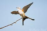 FLYCATCHERS, KINGBIRDS