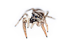 Zebra spider {Salticus scenicus} a member of the jumping spider family (Salticidae). Photographed on a white background. Peak District National Park, Derbyshire, UK. September.
