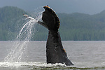 Humpback Whale (Megaptera novaeangliae) waving and slapping its flukes (tail) in waters off Princes Royal Island, Great Bear Rainforest, British Columbia, Canada.