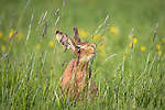 Happy hare smiling by Richard Ellis