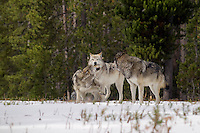 Wild GRAY WOLVES (Canis lupus) playing/greeting behavior.  Wolf on the left is approximately 6 month old pup.  Greater Yellowstone Ecological Area.  Fall.